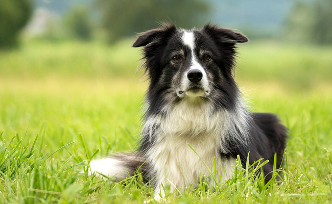 Le Border Collie : race de chien de berger