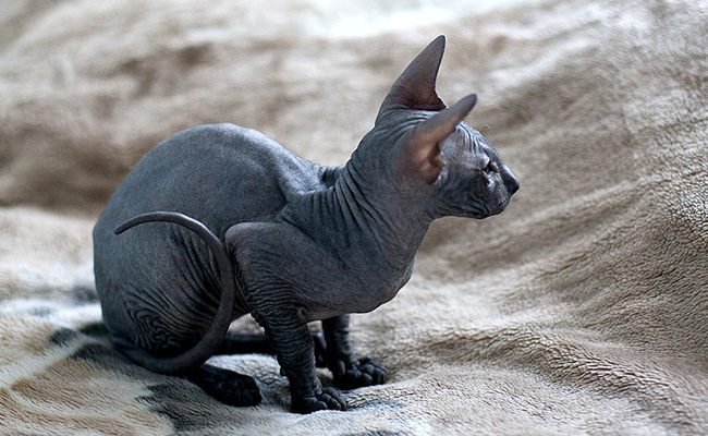 Le peterbald : race de chat sans poils