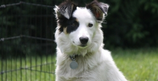 Elevage de Border collie - Fiche démonstration