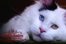 Devil's Shadow - Elevage de Maine Coon